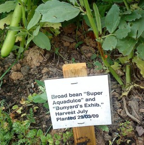 Broad beans 28-06-09 - cropped 3
