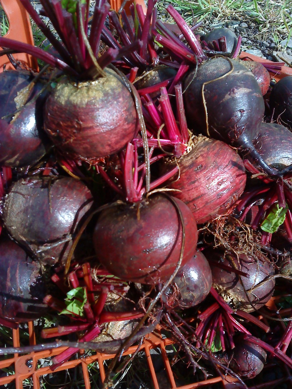 beetroot red sphere how to grow