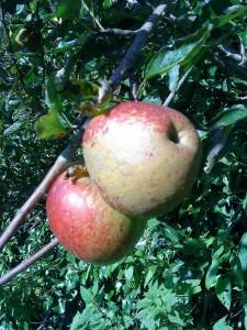 lord-hindlip-apples-camel csa 10-09-09