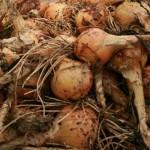 onions cropped - jg 09-08-09
