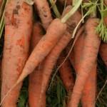 carrots-camelcsa