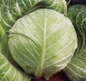 primo cabbage-camel csa