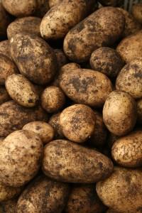 potatoes-camel csa