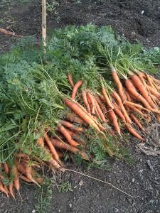 carrots-camelcsa-030813
