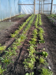 Over-wintered-salad-leaves-camelcsa-200214