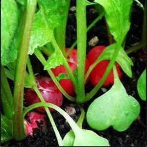 radishes-janem-camelcsa-160314