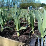 elephant-garlic-weeded-camelcsa-110414