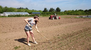 onion-hoeing-camelcsa-160514