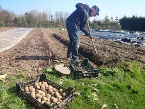 planting-potatoes1-camelcsa-060415