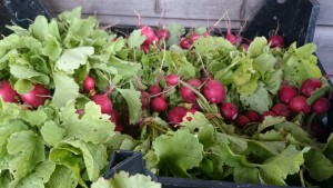 radishes-camelcsa-290515