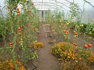 last-tomatoes-l-camelcsa-280915