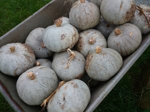 crown-prince-squash-harvest-231216