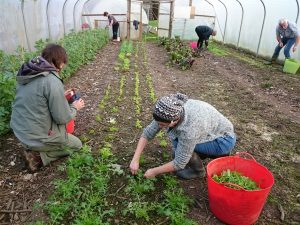 harvesting-winterl-salad-camelcsa-170217