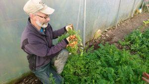 Harvesting-Parisian-carrots-camelcsa-101117