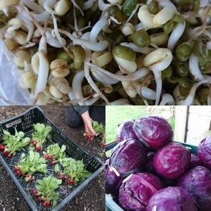 bean-sprouts-radishes-red-cabbage-camelcsa-050118