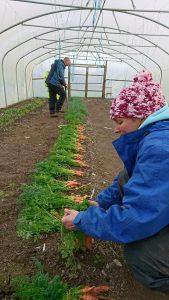 harvesting-carrots-portrait-camelcsa-020218