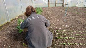 harvesting-coriander-camelcsa-230318