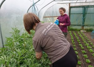 tying-broad-beans-camelcsa-130418