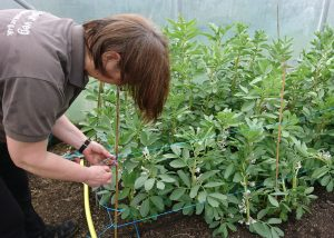 tying-in-broad-beans-camelcsa-130418
