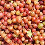 red-dessert-gooseberries-camel csa-290618