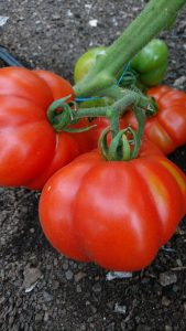 mamande-tomatoes-vine-camelcsa-030818