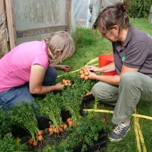 harvesting-parisian-carrots-camelcsa-240818