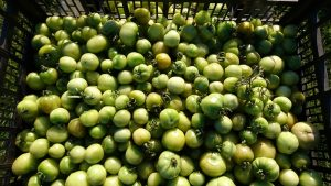 green-tomatoes-camecsa-121118