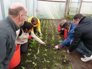 harvesting-winter-salad-leaves-polytunnel-camelcsa-110119