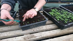pricking-out-parsley-seedlings-camelcsa-040319