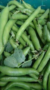 broad-beans-portrait-camelcsa