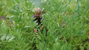 harvesting-broad-beans-polytunnel-camelcsa-070619