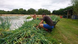 harvesting-onions-camelcsa-220719