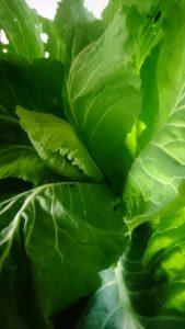 spring-greens-camelcsa-310120