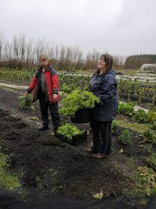 harvesting-kale-camelcsa-140220