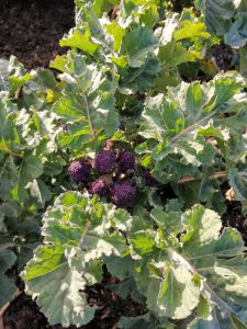 purple-sprouting-broccoli-camelcsa-130320
