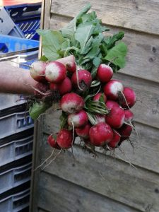 radishes-bunch-camelcsa-090420