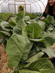 spring-cabbage-camelcsa-010520