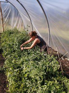 picking-peas-camelcsa-0620