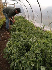 picking-peas-camelcsa-040620