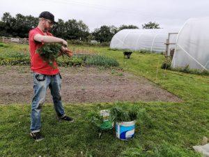 harvesting-carrots-camelcsa-260620