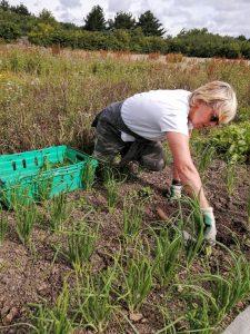 harvesting-spring-onions-040720-camelcsa