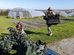 harvesting-Tuscan-kale-cavolonero-camelcsa-310720