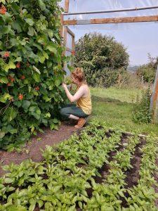harvesting-runner-beans-camelcsa-100820