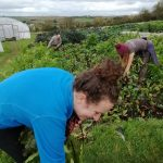 harvesting-beetroot-camelcsa-081020