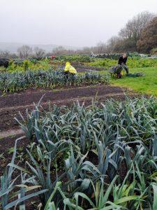 harvesting-veg-camelcsa-301020