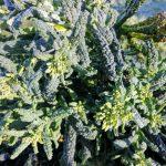 sprouting-cavolo-nero-camelcsa-260221