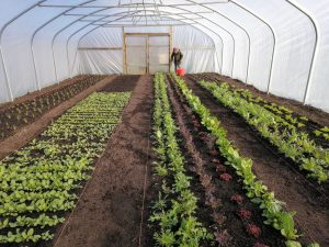 harvesting-winter-salad-leaves-camelcsa-050321