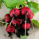 radishes-camelcsa-0321