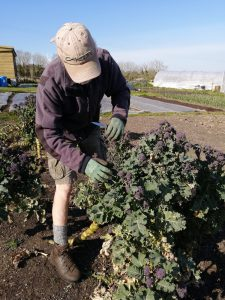 harvesting-purple-sprouting-broccoli-camelcsa-160421
