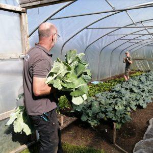 harvesting-spring-cabage-camelcsa-300421